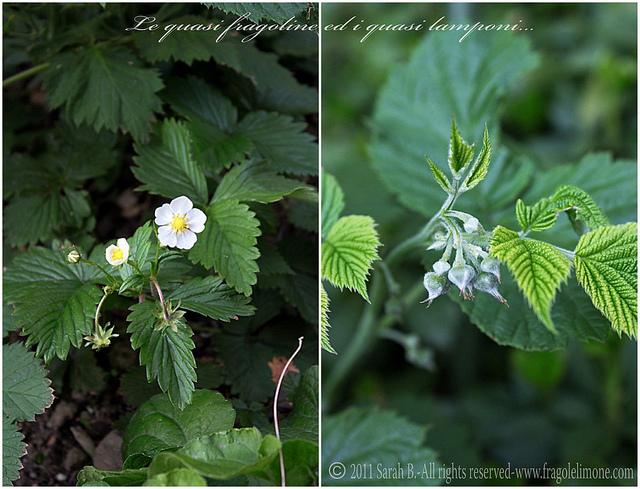 Collage fiori 7edited